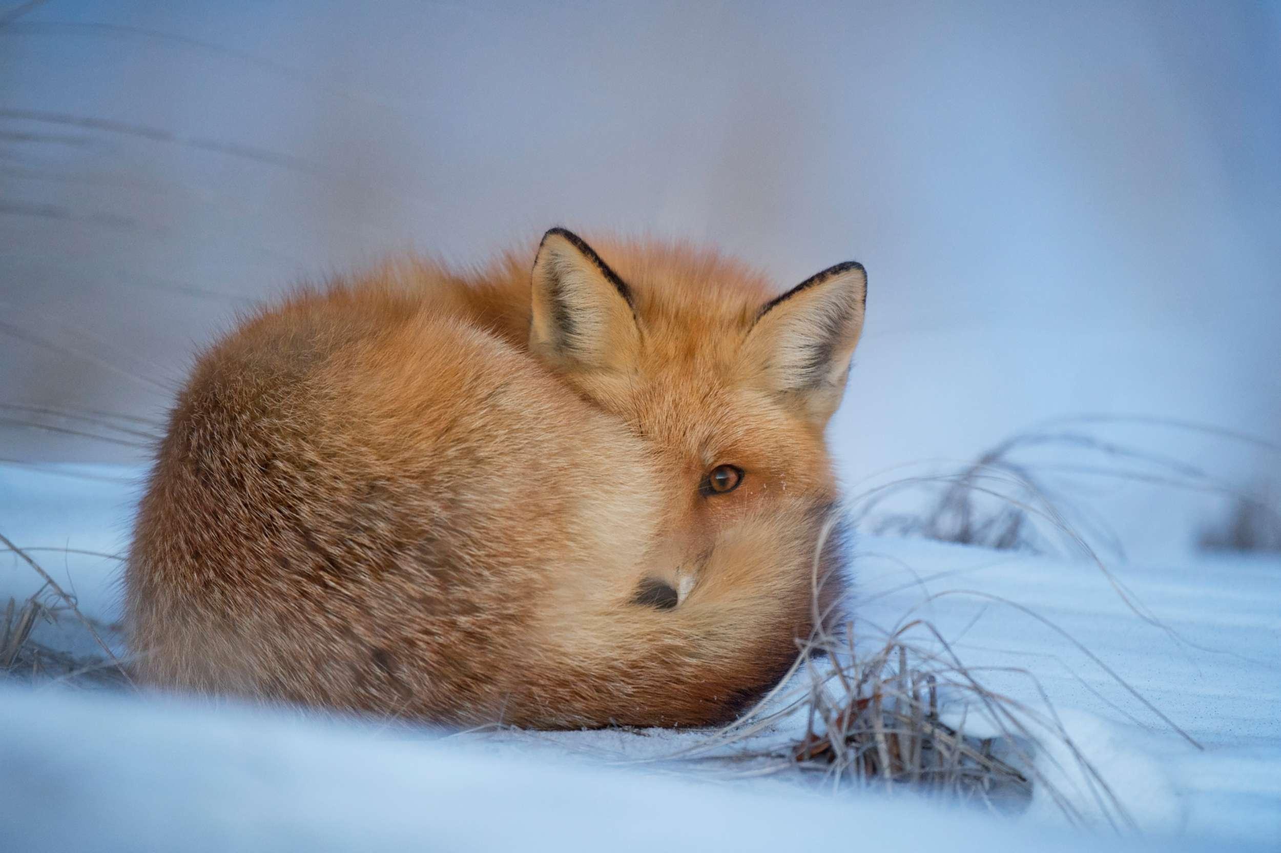 Freezed fox